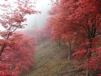 Explore Taiwan's Most Mesmerizing Maple Scenic Areas for Your Taiwan travel - Alishan, Nantou, Taipei, Hsinchu & Yilan!