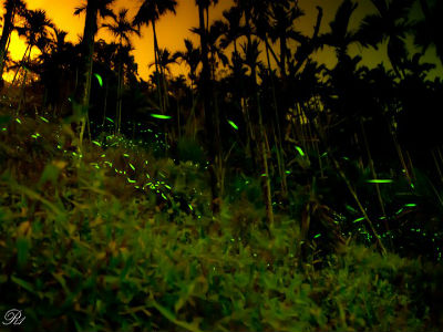 Fireflies in Taiwan (Photo: R one)