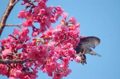 Cherry Blossom in Aowanda by Kate