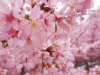 2015 Alishan Cherry Blossom