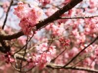 Sun Moon Lake Cherry Blossom
