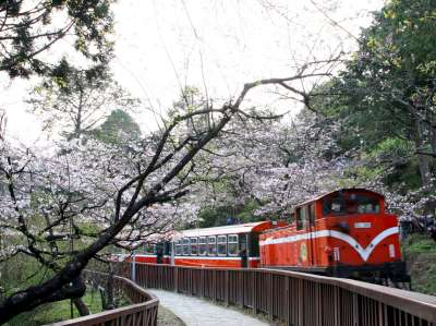 Alishan cherry blossom and train photo by Chiang
