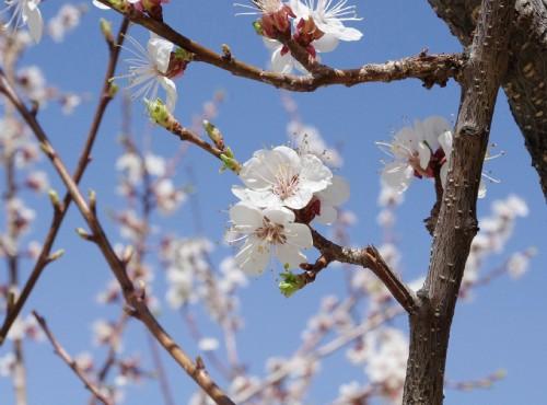 全台「梅」景當前  假日出遊賞花、泡溫泉