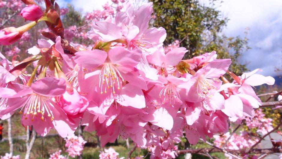 武陵櫻花盛開時花海粉嫩浪漫