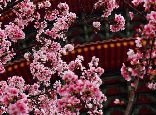 2018全台櫻花季情報  粉色浪漫開滿開好