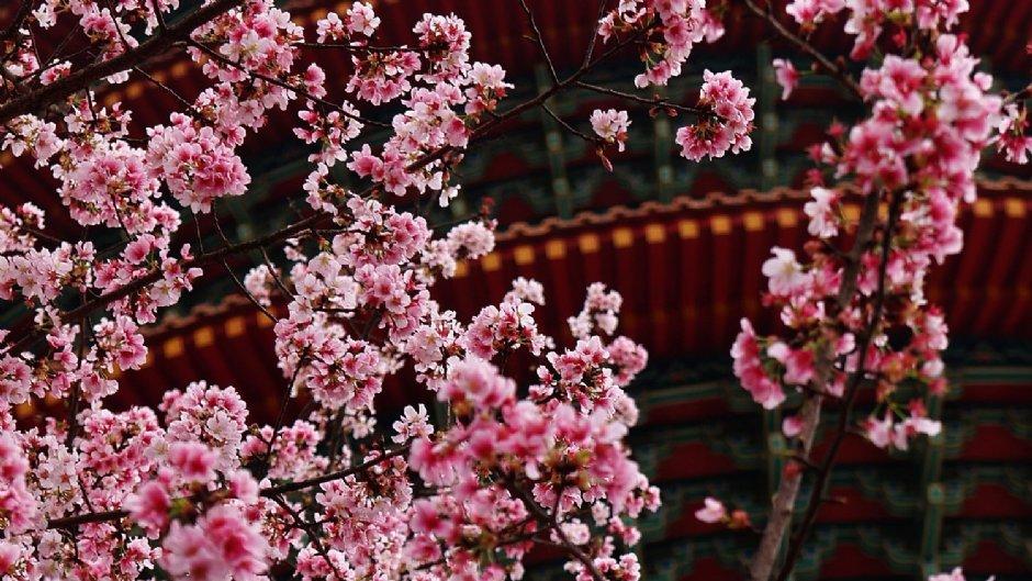 美麗櫻花與淡水天元宮建築相互輝映