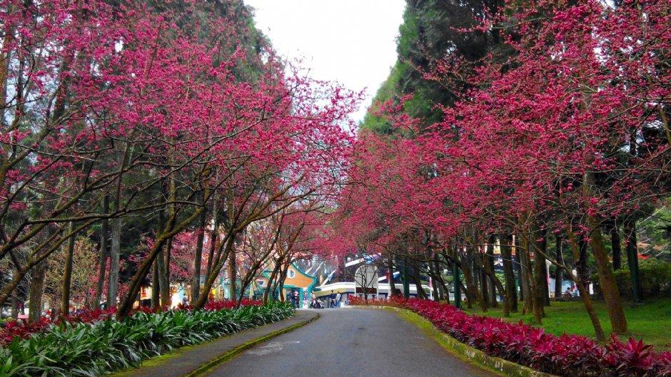 九族文花村堪稱是全台最大的賞櫻景點