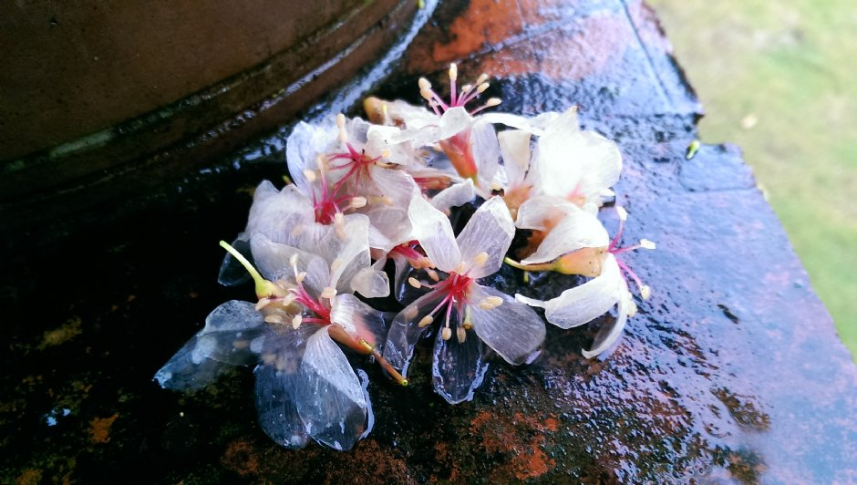 美麗的桐花吸引旅人春天遊客家庄