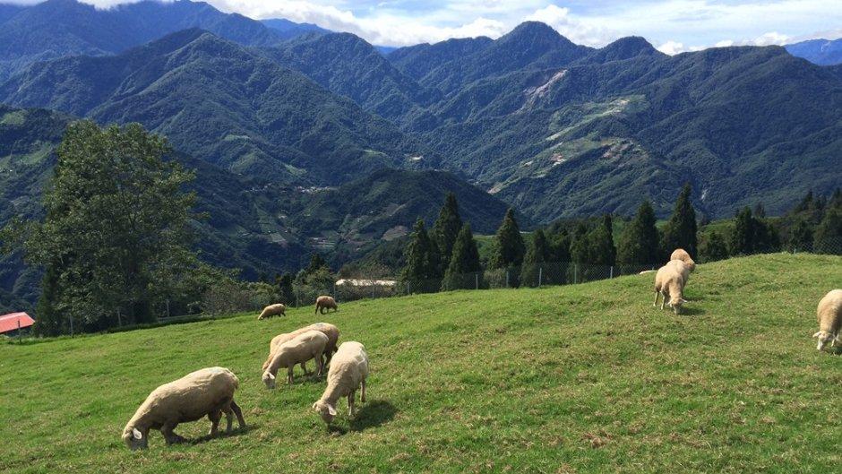 清境農場飼養的可愛羊咩咩經常在草地上放風覓食