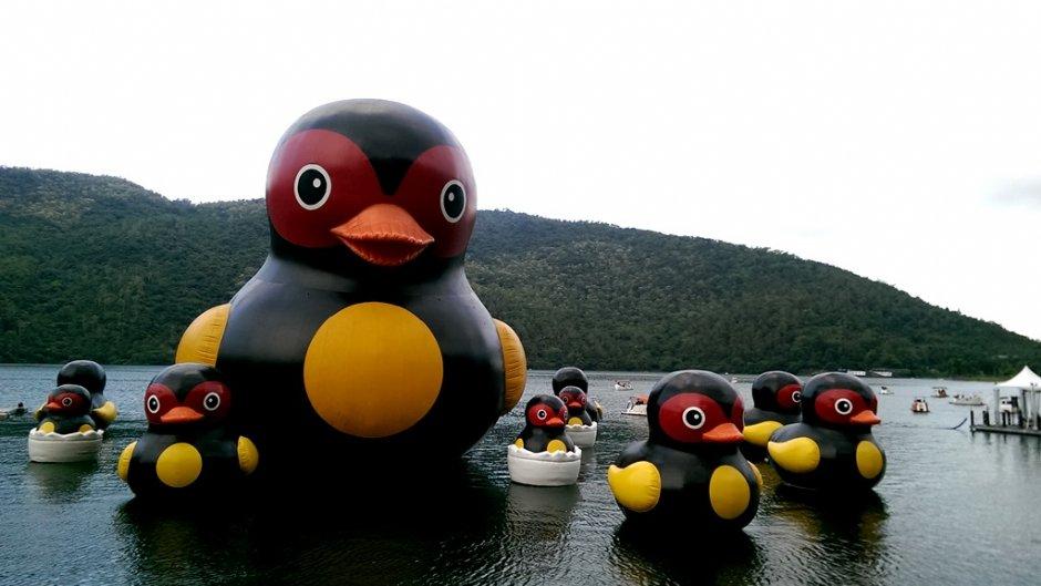 红面鸭家族每年暑假都在鲤鱼潭和你相见欢