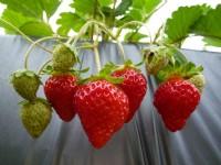 草莓控快出發  大湖草莓季提前登場!