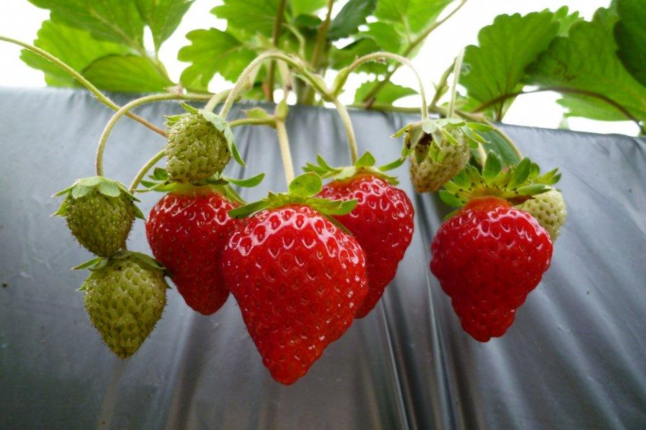 大湖草莓季開跑