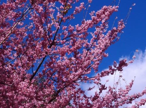 預約2月粉紅浪漫  武陵櫻花季1/17開放搶票!