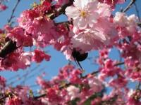 春遊新北櫻花季∣櫻紅春曉 花現幸福