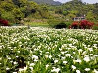 數數幸福的願望「2019竹子湖海芋季」