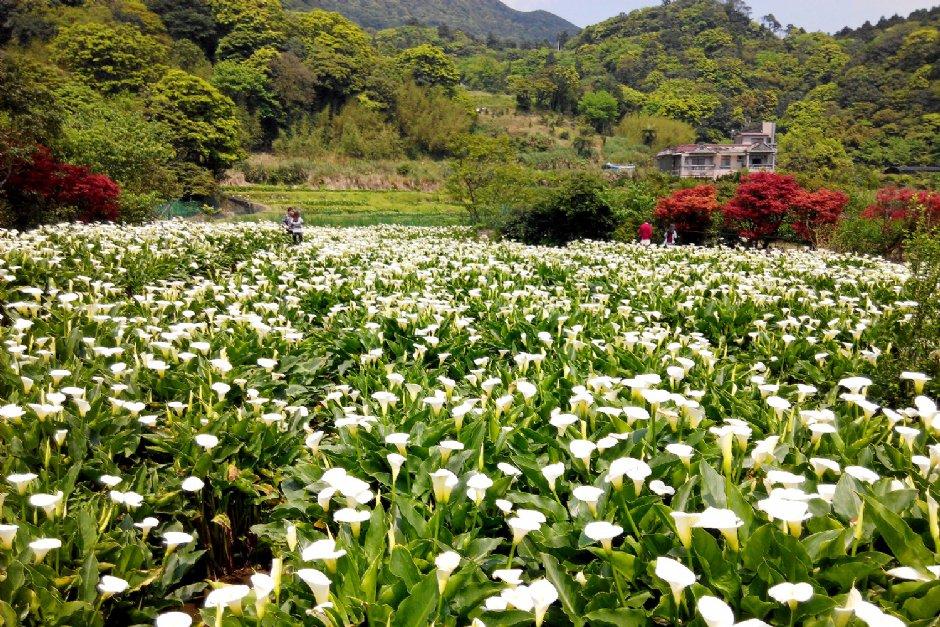 3-5月是竹子湖海芋盛開的季節(資料照片)
