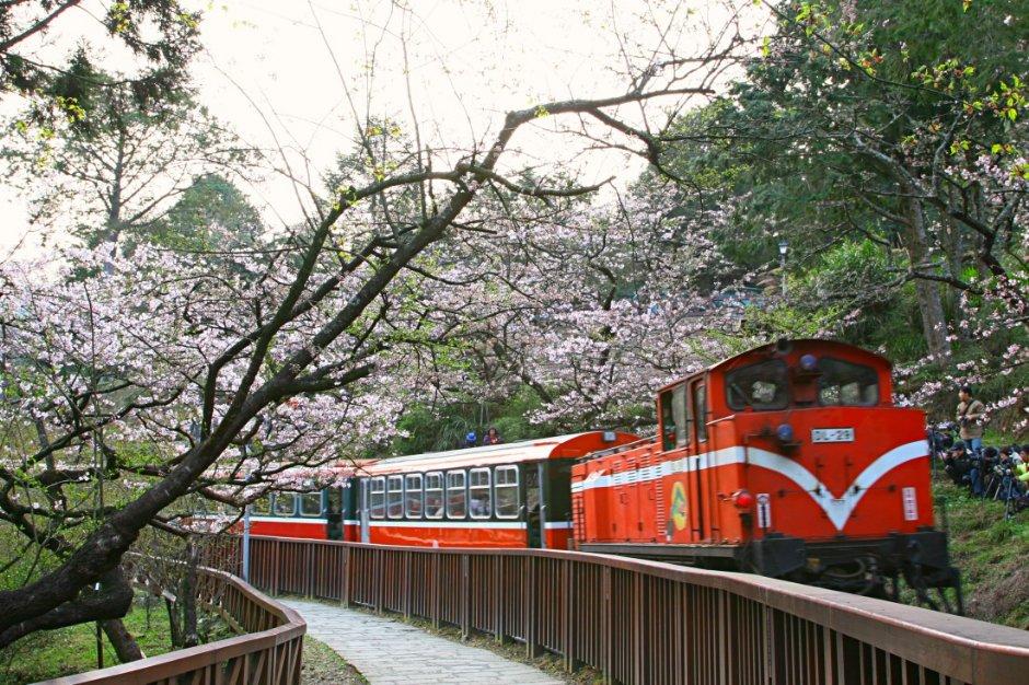 阿里山森林火車在櫻花下進站,是阿里山的經典畫面。