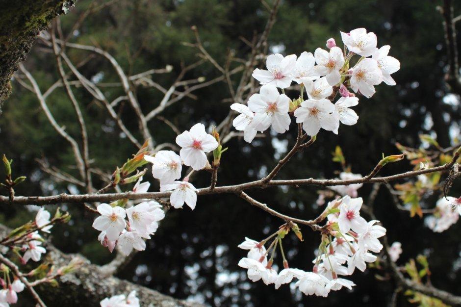 阿里山森林遊樂區中的白皙櫻花