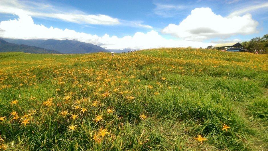 盛開金針遍布山頭猶如舖上金黃色地毯