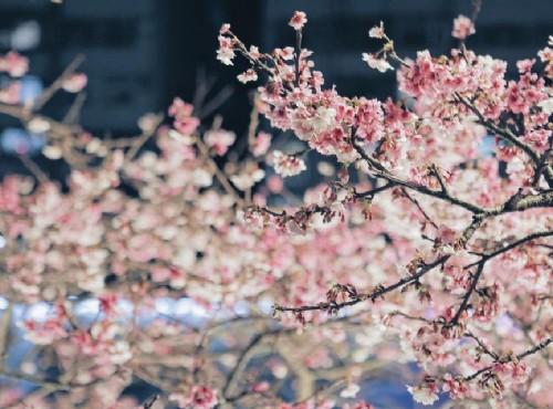 春神來了花知道《樂櫻繽紛》2020樂活夜櫻季2/2-3/1舉行