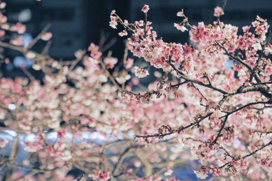 綻放的櫻花在燈光照射之下展現出不一樣的美