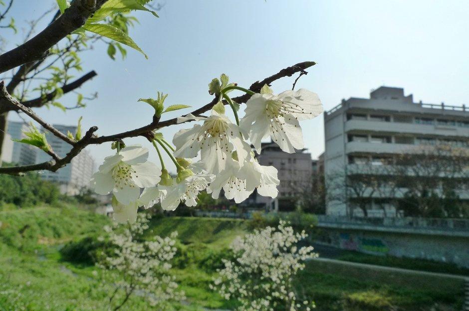 內溝溪兩旁邊遍植許多櫻花樹
