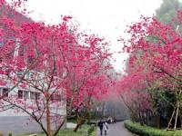 228连假快冲!台湾最大赏樱盛会「九族樱花祭」20周年邀你齐来花见春天