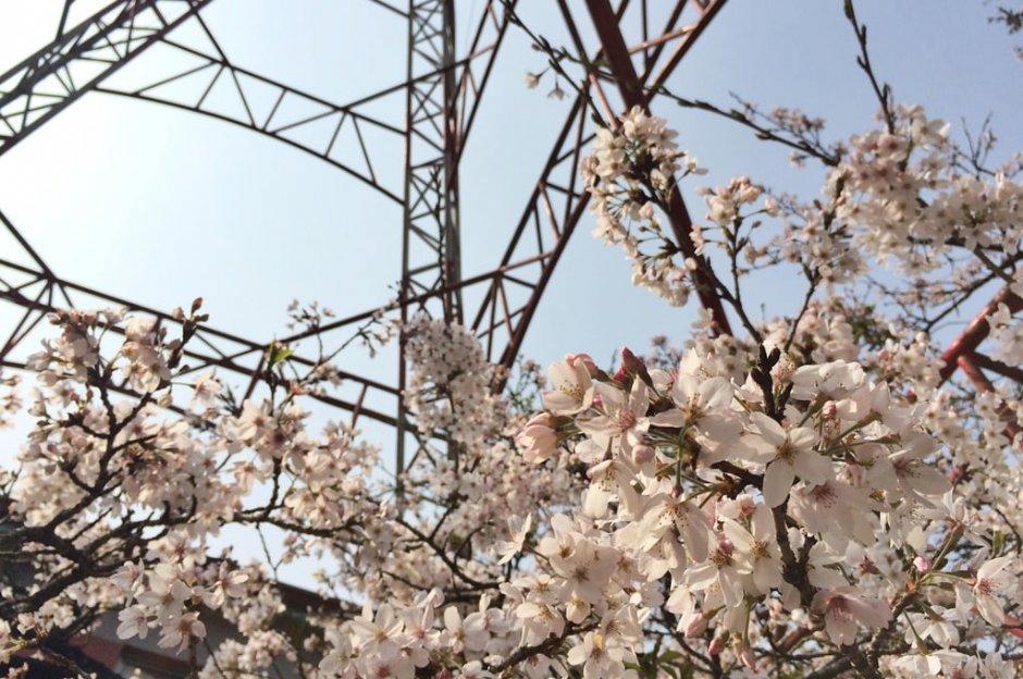 怒放的粉嫩櫻花是阿里山花季重頭戲