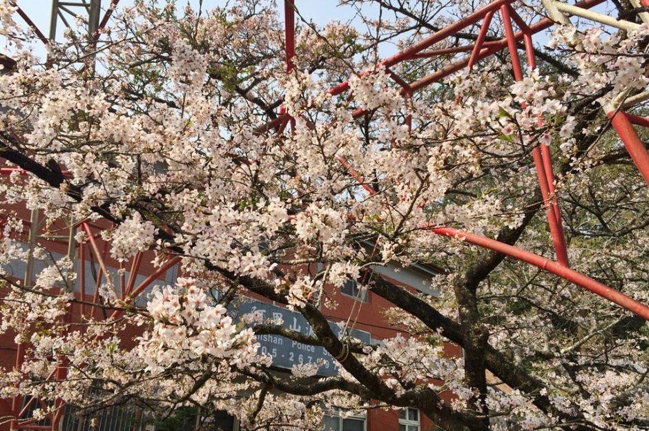 阿里山派出所前綻放的櫻花相當吸睛