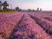 2020桃園仙草花節【微見仙境】感受台版普羅旺斯的浪漫紫色場景