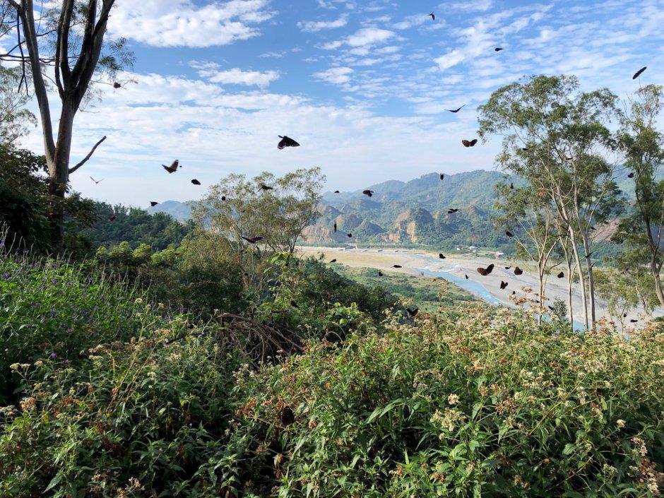 目前正值雙年賞蝶季,前往茂林有機會一見翩翩飛舞的紫斑蝶