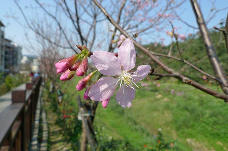 內湖樂活夜櫻季期間可在內溝溪沿岸觀賞綻放的粉嫩櫻花