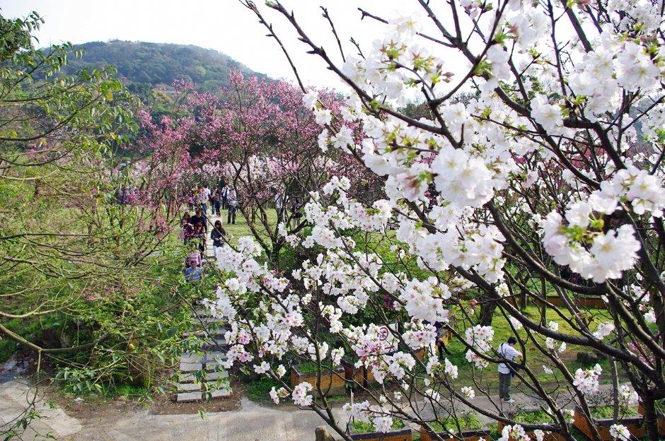 陽明山花季年年吸引遊客賞花朝聖