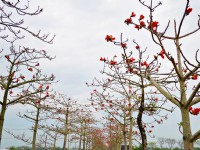 全球最美花海街道!台南林初埤「白河木棉花季」即將火紅登場