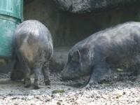 台灣野豬<br/> 攝影:簡時強