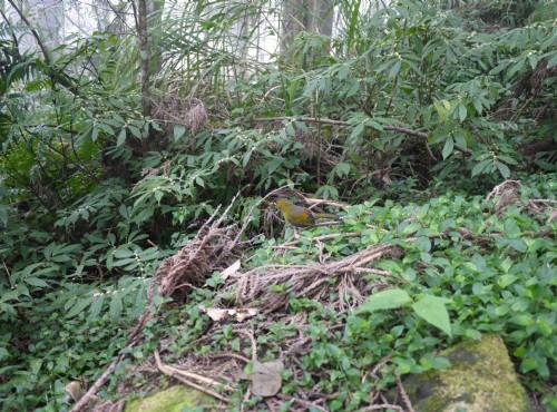 溪頭自然教育園區(溪頭森林遊樂區)-處處有驚喜不太怕生的小鳥