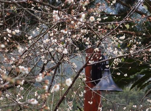 東埔溫泉-梅花盛開