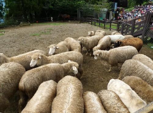 清境農場-青青草原綿羊秀