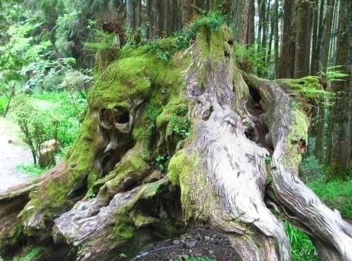 阿里山神木-象鼻木