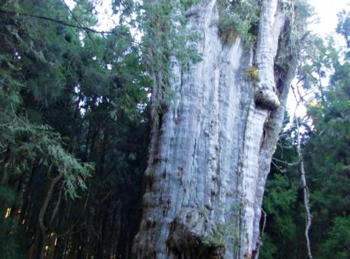水山巨木步道-水山巨木