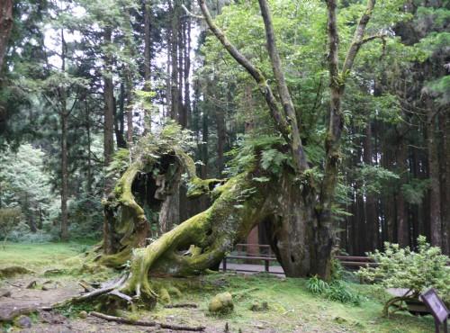 Alishan Forest Recreation Area-201407同心木(已於2015斷裂)