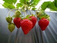 大湖草莓<br/> 攝影:陳皮梅