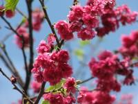 桃紅色的櫻花<br/> 攝影:林仲哲