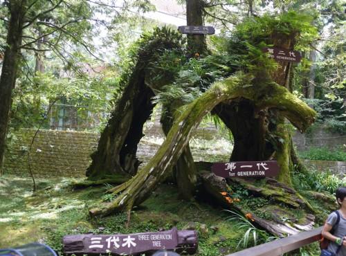 Alishan Forest Recreation Area-201407阿里山三代木