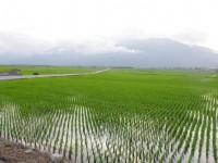 伯朗大道旁的稻田<br/> 攝影:Eva隨手拍