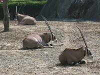 劍角羚羊<br/> 攝影:簡時強