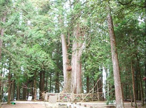阿里山神木-壯觀的神木林
