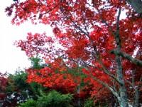 火紅槭樹<br/> 攝影:陳銘祥