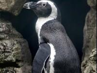 黑腳企鵝<br/> 攝影:陳銘祥