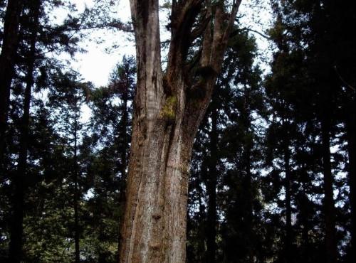 阿里山神木-千歲檜